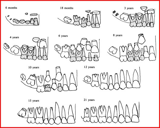 Archaeological diagram to help define the age of a skeleton based on dental development.